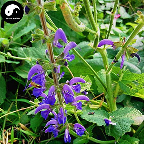 Buy Salvia Miltiorrhiza Seeds Plant Chinese Herb Danshen For Dan Shen