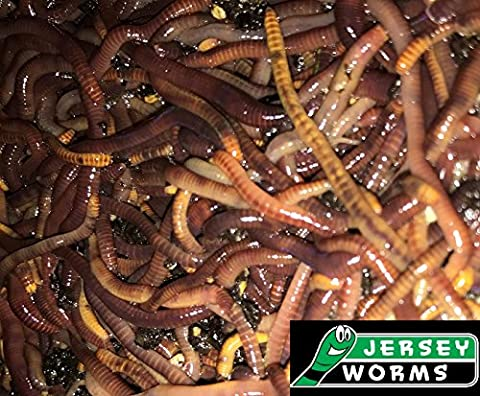 Jersey Worms Red Wrigglers fishing and composting worms 250 Count - Red Worms For Compost