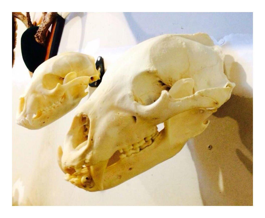 Amazon.com: The EuroHanger! European Skull Mount Hanger - Deer ...