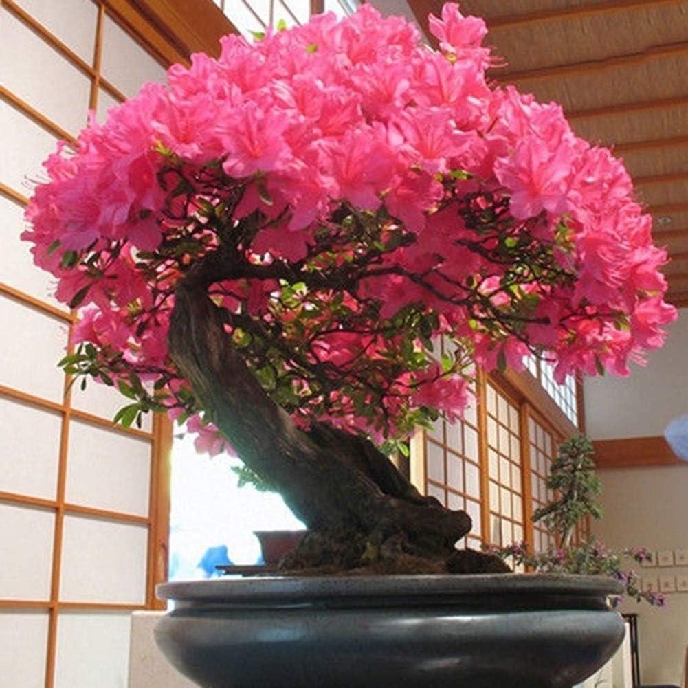 Blumen-Baum Pflanzt Bonsai-Yard-Garten-dekorative Blumensamen Kirschbl/üten Samen good01 40pcs Rote Kirschbl/üte Blumensamen