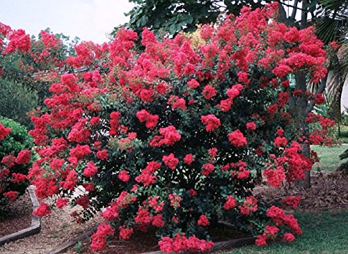 TONTO Dwarf Crape Myrtle, 1 Plant, Striking Dark Watermelon Red, Matures 8'-10' (3-4ft Tall When Shipped, Well Rooted in Pots with Soil) by The Crape Myrtle Company (Image #2)