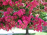 Watermelon Crapemyrtle Tree (1-2 feet tall in trade gallon containers) red pink crape myrtle