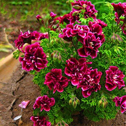 Rose Iris Tectorum Sunflower Cobaea Scandens Seed, 20Pcs Geranium Flower Seeds Planting Home Bonsai Garden Decoration Beauty