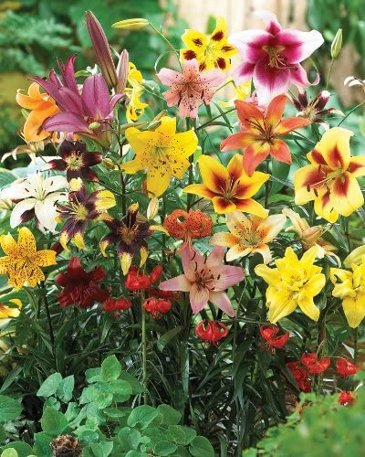 Amazon Com All Summer Lily Mix Grow Lilies In Your Garden