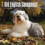 Old English Sheepdogs 2018 12 x 12 Inch Monthly Square Wall Calendar, Animals Dog Breeds