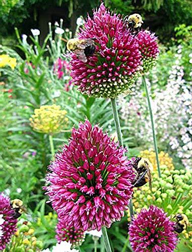 Drumsticks Allium sphaerocephalon 10 Bulbs - Persian Onion - 6/+ cm