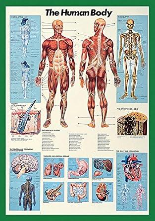 Amazon.com: Human Body-Full Color BIG Anatomical Poster 26.75 x 38.5 ...