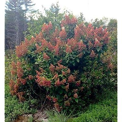 AchmadAnam - Live Plant - Hydrangea 'Ruby Slippers'. E4 : Garden & Outdoor