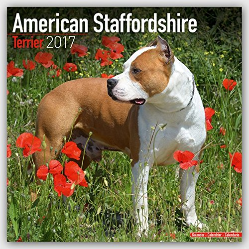 American Staffordshire Terrier - Amstaff 2017: Original Avonside-Kalender [Mehrsprachig] [Kalender] (Wall-Kalender)
