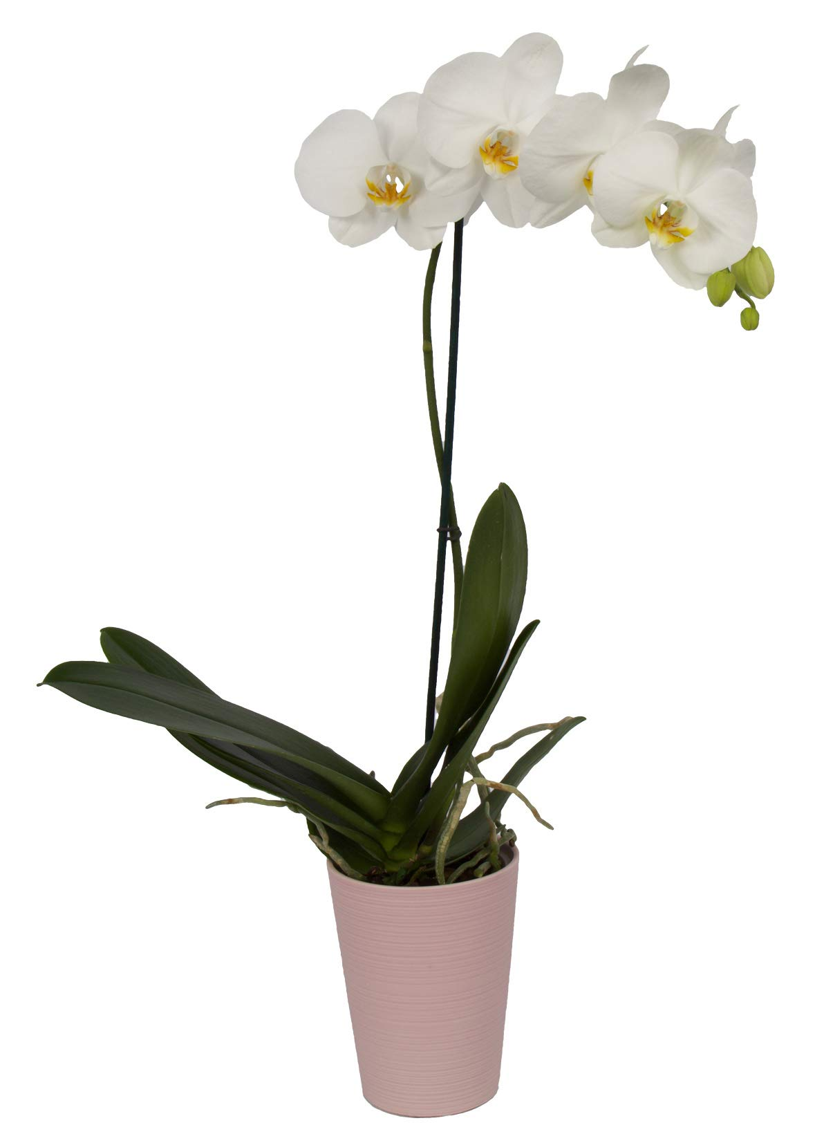 Color Orchids AMZ1101DP1W Live Blooming Single Stem Phalaenopsis Orchid Plant in Ceramic Pot, 20''-24'' Tall, White Blooms