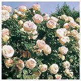 Eden Climber Rose Bush Reblooming Pink Climbing Rose Grown Organic 4'' Potted - Easy To Grow
