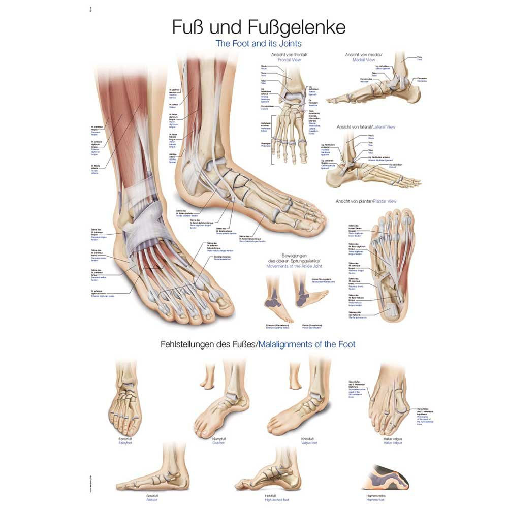 Tableau d\'enseignement anatomique le pied et ses articulations Fuß ...