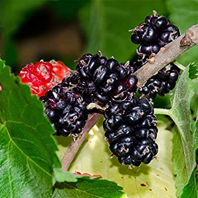 Black Mulberry Seeds (Organic) 60 Seeds Upc 643451295757