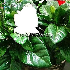 50 semillas Partículas Un paquete de Gardenia blanco raro Flores Jazmín del Cabo Semillas hermosa semilla de flor Fácil a brotar Planter reloj Pot