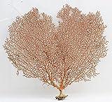 """dried sea fan - Sea Fan Red 7"""" - 10"""""""