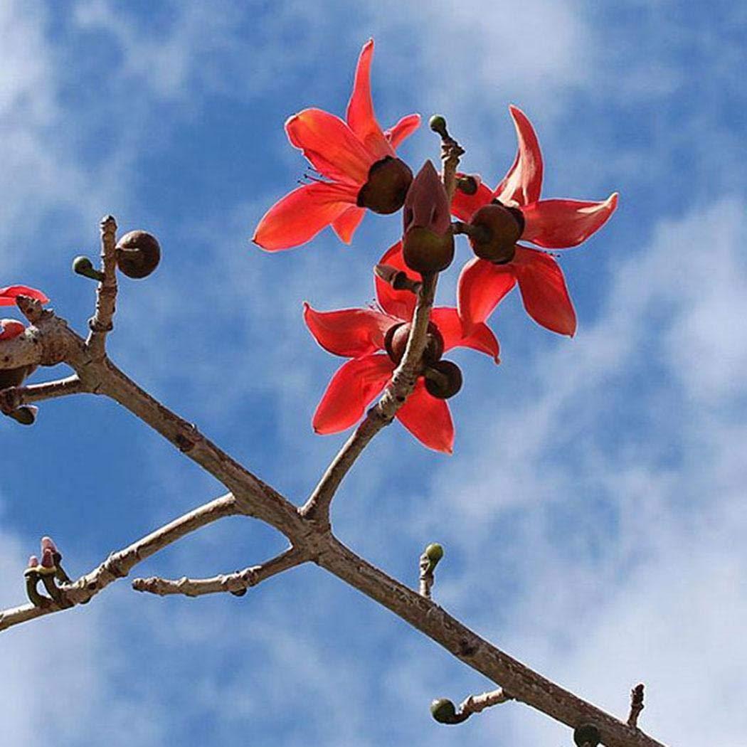 YENJO Red Silk Cotton Seeds Kapok Tree Seeds Woody Plant