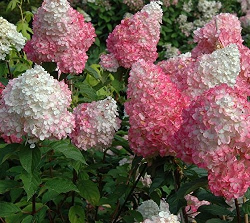 Strawberry Sundae Hydrangea - Live Plant - Full Gallon Pot