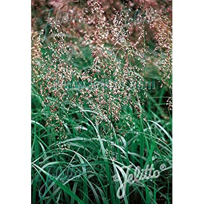 Hierochloe Odorata Sweet Grass Seeds : Garden & Outdoor