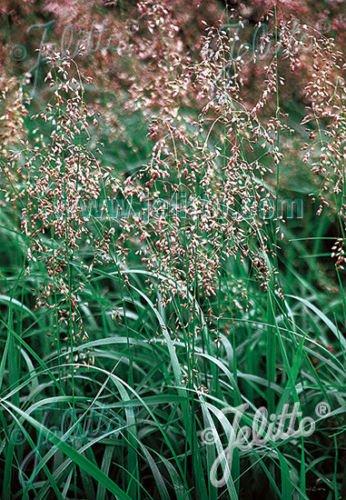Hierochloe Odorata Sweet Grass Seeds