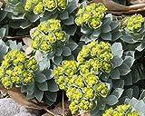 10 seeds Euphorbia myrsinites (Myrtle Spurge Seeds) attractive low growing succulent