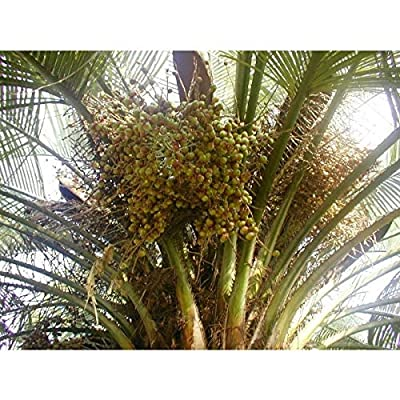 Jelly Palm Butia Capitata 10 Seeds YXG17 : Garden & Outdoor