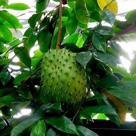 Semillas de Fruta de Chirimoya, Semillas Frutales Comestible ...