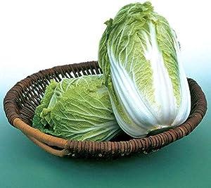 25+ Count Napa Michihili Heading Cabbage Seed, Heirloom, Non GMO Seed Tasty Healthy Veggie