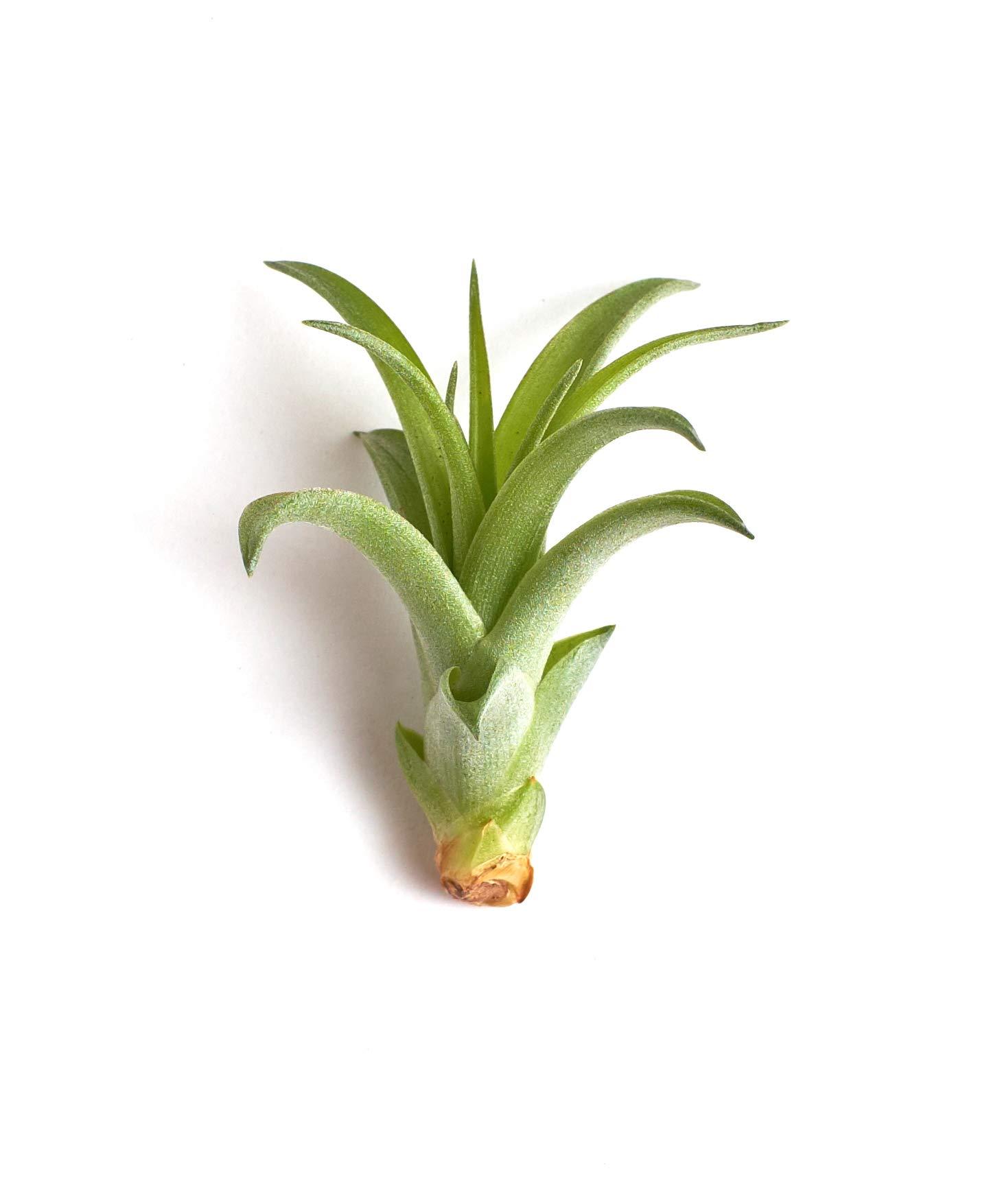 Shop Succulents Tillandsia Brachycaulos v. Multiflora Small Air Plant, Pack of 4