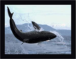 """Great White Shark Leaping Out of Water to Catch Seal, False Bay, South Africa by Mike Parry 22"""" x 28"""" Black Framed Canvas Giclee Art Print - Ready to Hang"""