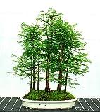 ADB Inc 50+50 Seeds Dawn Redwood Forest Bonsai Seeds Bonsai Tree Metasequoia Glyptostroboides Grow Your Own Bonsai Tree