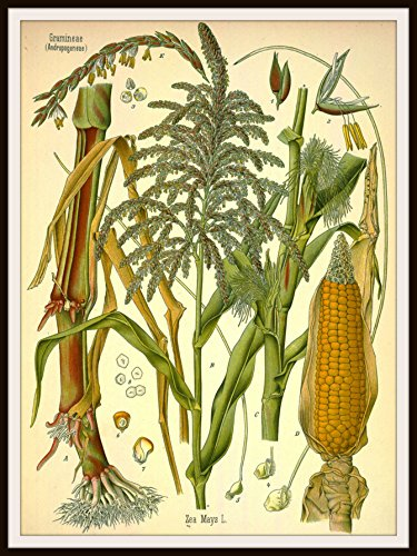 indian corn of the americas - 7