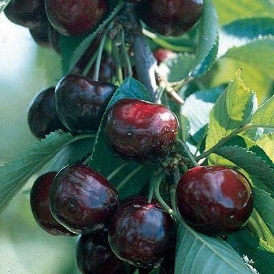 "Sweet Cherry Tree 1 Fruits Plant Garden 8-12"" Tall Potted Plant tkshan : Garden & Outdoor"