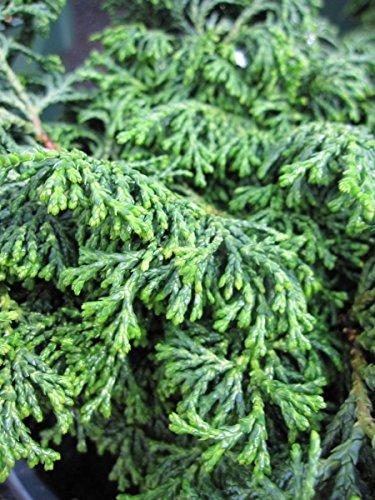 Chamaecyparis obtusa Maureen Scheinzypresse Maureen