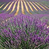 500 TRUE ENGLISH LAVENDER VERA Lavender Augustifolia Vera Herb Flower Seeds Garden, Lawn, Supply, Maintenance