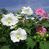 Rare * Hibiscus Mutabilis * Confederate/cotton Rose* Single* 25+ Seeds *White Turning to Pink