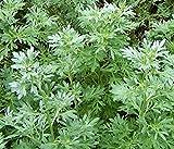 David's Garden Seeds Herb Wormwood Absinthe SL4433 (Green) 500 Non-GMO, Heirloom Seeds