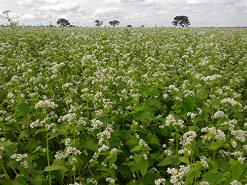 (Buckwheat Seeds 5 lb Bulk Forage Food Plot Unhulled Cover Crop Whitetail Deer Green Goose Honey Bee Sprouts Micro Greens Garden)