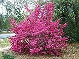 Loropetalum Chinense Tree Seeds 50 Seeds Beautiful Ornament Flower Bonsai Redrlowered Loropetalum Flower Seeds Home Garden