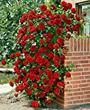 Catterpillar Farm Dark Red Climbing Rose 1 Healthy Live Plant In Poly Bag