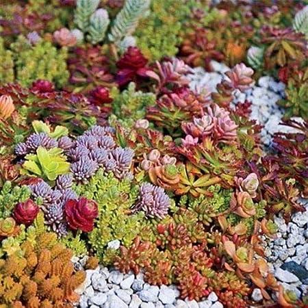 Amazon Com Hardy Succulent Sedum 20 Cuttings Evergreen