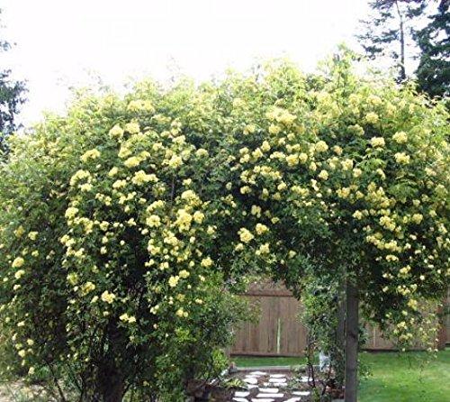 Lady Banks Yellow Climbing Rose - Live Plant - Quart Pot
