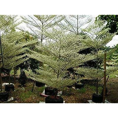 Terminalia ivorensis 10 Seeds Black Afara Tree #Ornamental : Garden & Outdoor