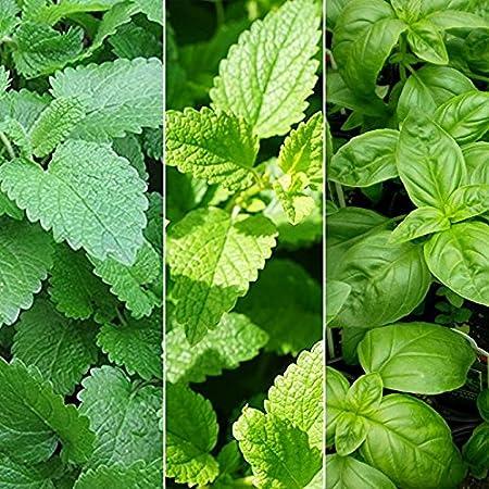 Lemon Balm Seeds NON-GMO FREE SHIP Sweet Balm Variety Sizes Mint Melissa