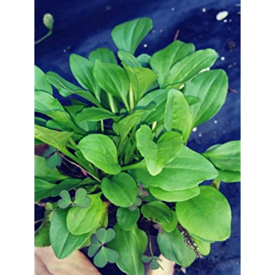 Plantain, Greater, Greater Plantain, Plantago Major, 4in Potted Plant, Organic, Heirloom, GMO Free : Garden & Outdoor