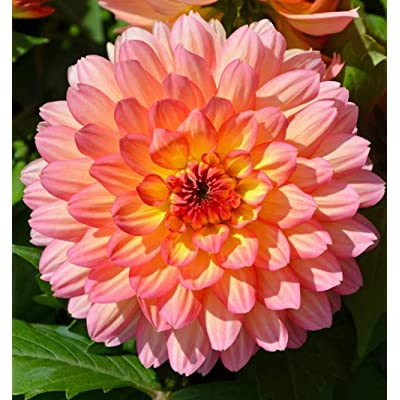 Rare Dahlia Opera Pink and Yellow 100+ Fresh Seeds : Garden & Outdoor