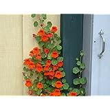 Creative Farmer Nasturtium Climber Flower Plant Seeds
