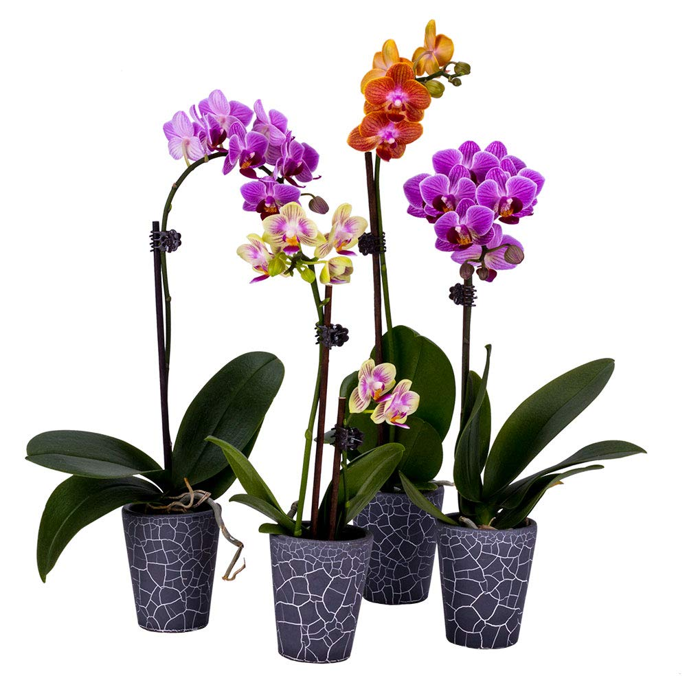 Decoblooms Living Assorted Orchid Plants (Collection of 4) - 2 inch Blooms - Fresh Flowering Home Décor
