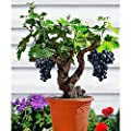 Miniature Grape Vine Seeds - Patio Syrah - Vitis Vinifera - Houseplant - 150 Seeds - Fruit Bonsai Seeds