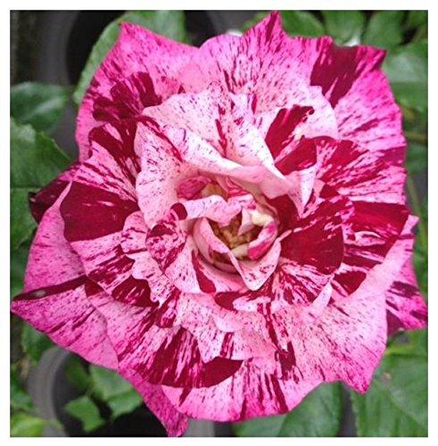 (10 Purple Tiger Floribunda Rose Seeds )