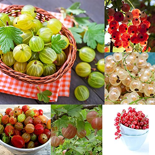 LOadSEcr's Garden 50Pcs Organic Gooseberry Currant Fruit Seeds Non-GMO Ornamental Plants Yard Office Decoration, Open Pollinated Seeds ()